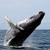Thumb la ballena jorobada es el animal acusticamente mas complejo